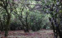 武夷山吴三地百年老枞水仙的特点