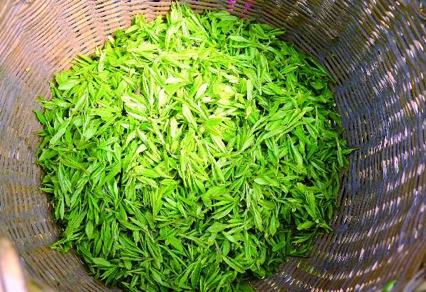 西湖龙井茶的作用图片